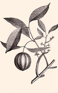 mangoustanier