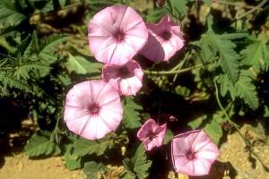 Liseron © Secrets de plantes