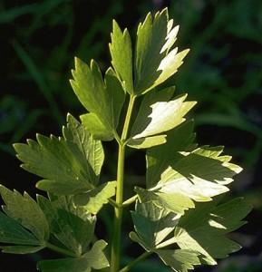 Livèche © Secrets de plantes