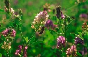 Luzerne © Secrets de plantes