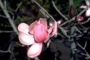 Fleur de magnolia © Secrets de plantes