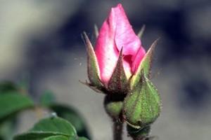 rose en bouton © Secrets de plantes