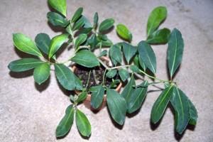 maté © Secrets de plantes