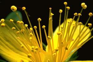 millepertuis © Secrets de plantes