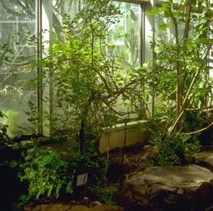 Myrrhe © Secrets de plantes