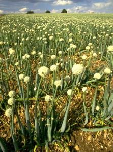 Oignons © Secrets de plantes