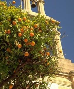 Oranger doux © Secrets de plantes