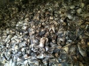tas de têtes de morues séchées dans un hangar avant conditionnement