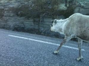 renne au bord de la route vers le cap Nord - minuit