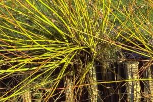 Osier © Secrets de plantes