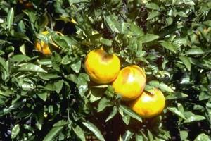 pamplemousses © Secrets de plantes