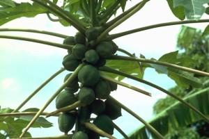 papayer © Secrets de plantes