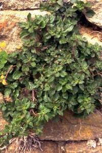 Pariétaire © Secrets de plantes