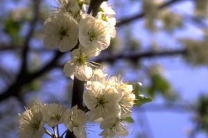 fleurs de prunier © Sacrets de plantes