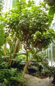 Quinquina © Secrets de plantes