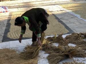 récolte du riz - village Dong