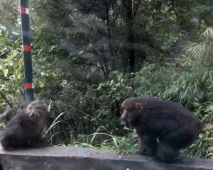 singes dans le Guizhou