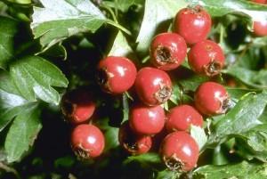 fruits de l'aubépine ©Secrets de plantes