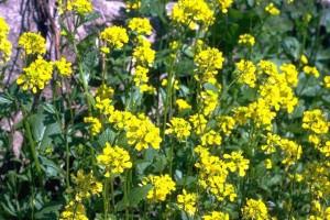 fleurs de moutarde ©Secrets de plantes
