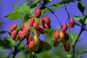 Fruits d'épine-vinette © Secrets de plantes