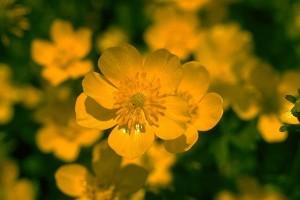 Bouton d'or © Secrets de plantes