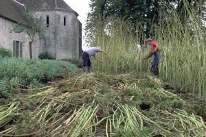 récolte du chanvre ©secrets de plantes