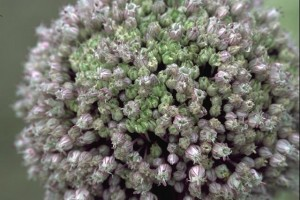 fleur de poireau © Secrets de plantes