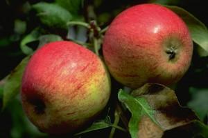 pommes - © Secrets de plantes