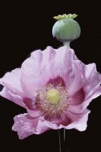 pavot © Secrets de plantes