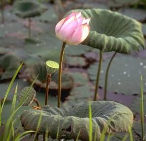 Fleur de lotus © Secrets de plantes
