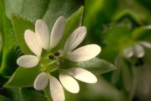 fleur de mouron © Secrets de plantes