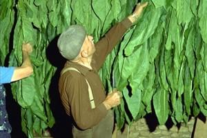 Feuilles de tabac © Secrets de plantes