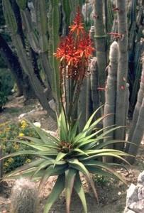 Aloès du Cap © Secrets de plantes
