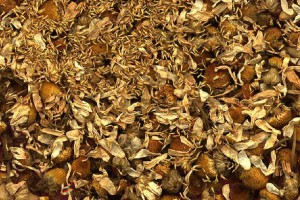 Camomille, drogue © Secrets de plante