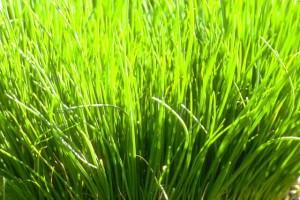 ciboulette © Secrets de plantes
