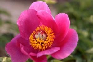 pivoine © Secrets de plantes