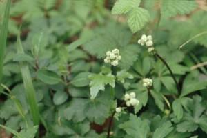 Sanicle © Secrets de plantes
