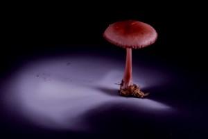 Mycena pura après 18 heures de sporulation © Encyclopédie pratique des champignons (CD-Rom)