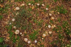 champignons poussant en ronds de sorcière