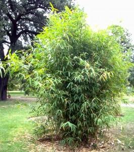 bambou © Secrets de plantes