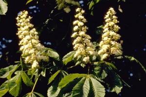 fleurs de marronnier © Secrets de plantes