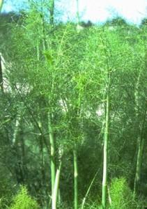 Fenouil © Secrets de plantes