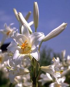 Lys blanc ©Secrets de plantes