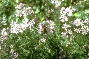 coriandre © Secrets de plantes