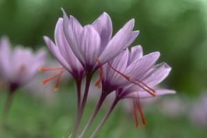 fleurs de safran © secrets de plantes