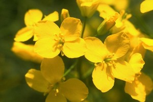 Fleurs de colza © secrets de plantes