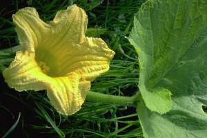Fleur de courge © Secrets de plantes