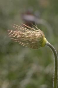 anémone pulsatile © Secrets de plantes