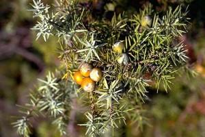 cade © Secrets de plantes