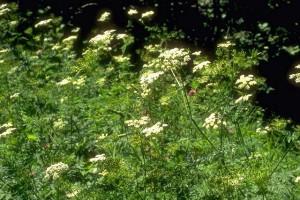 Cerfeuil © Secrets de plantes